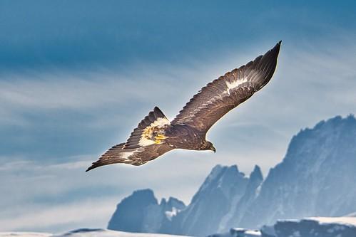 l'Aigle à l'ecorchoir .....suite