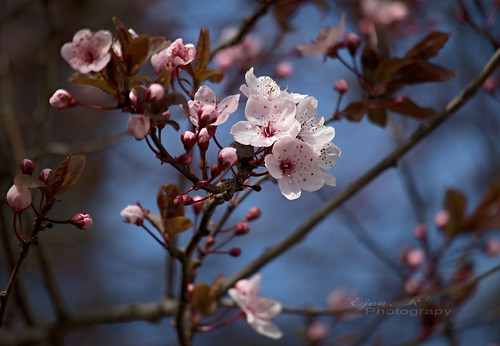 wild plum / vadszilva