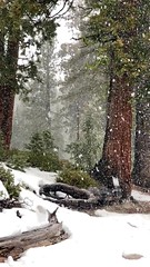 Snowing in redwood forest, California - by Michelle Perras