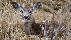Mule Deer_A6401578
