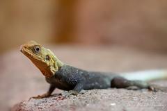 Agama západoafrická (Agama africana)
