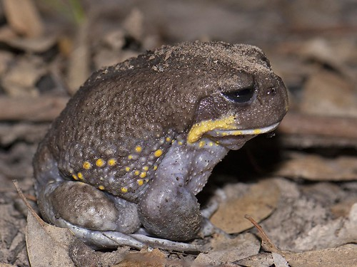 """Heleioporus australiacus - Giant Burrowing Frog - East Gippsland, Vic • <a style=""""font-size:0.8em;"""" href=""""http://www.flickr.com/photos/95790921@N07/32779981618/"""" target=""""_blank"""">View on Flickr</a>"""