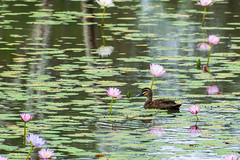 Waterlilies and duck