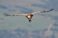 Griffon Vulture | gåsgam | Gyps fulvus
