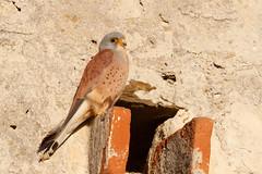 Lesser Kestrel   rödfalk   Falco naumanni