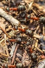 Mravenec lesní (Formica rufa L.)