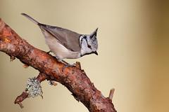 European Crested Tit | tofsmes | Lophophanes cristatus
