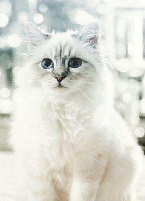 A gatinha milionária de Lagerfeld, Shoupette
