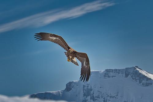 L'aigle à l'Ecorchoir