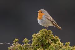 European Robin | rödhake | Erithacus rubecula