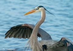 SONY- A9, Great Blue Heron, 1848, 1-4000, F11, ISO 2500, 100-400 @560