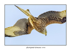 One in the eye - Red Kite on the prowl