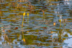 Waterlilies in early morning light