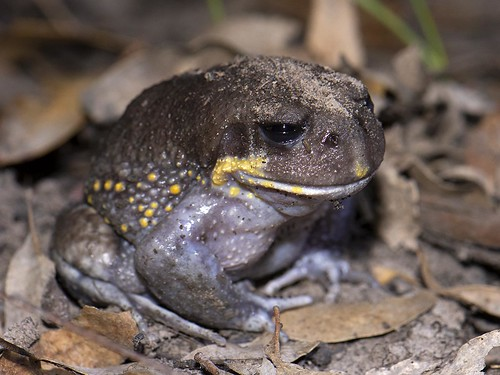 """Heleioporus australiacus - Giant Burrowing Frog - East Gippsland, Vic • <a style=""""font-size:0.8em;"""" href=""""http://www.flickr.com/photos/95790921@N07/39689555323/"""" target=""""_blank"""">View on Flickr</a>"""