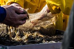 """Pêcheurs de crevettes à pied """"De Gernoarskruwers"""""""