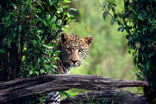 Leopard II by NunoRibeiro