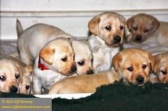 Ruffwinds Retriever Puppies