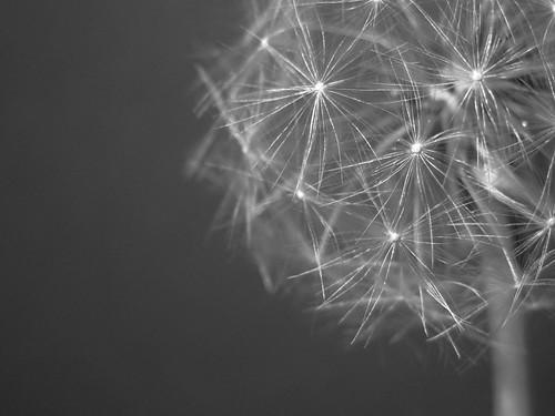 Dandelion Fluff by Aerykah
