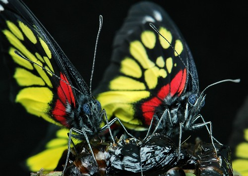 Newly emerged Redbase Jezebels (Delias pasithoe)