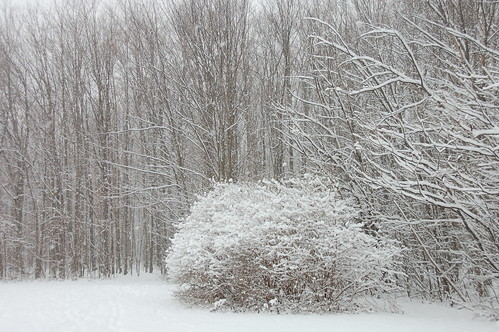 snowy woods by blooming heather