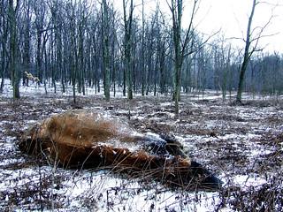 landscape with dead cow (Far Field)
