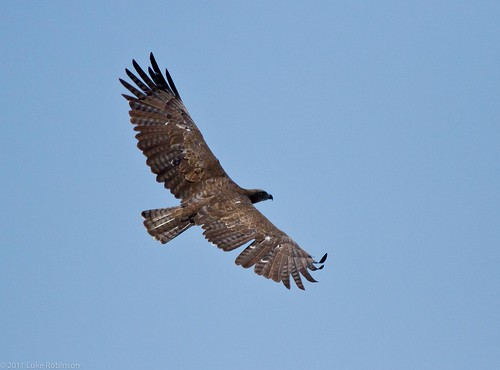 Martial Eagle in Flight, Kruger National Park, South Africa