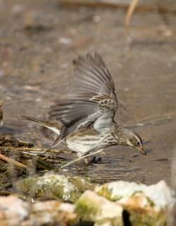 2012_01_17 LN - Water Pipit (Anthus spinoletta) 03