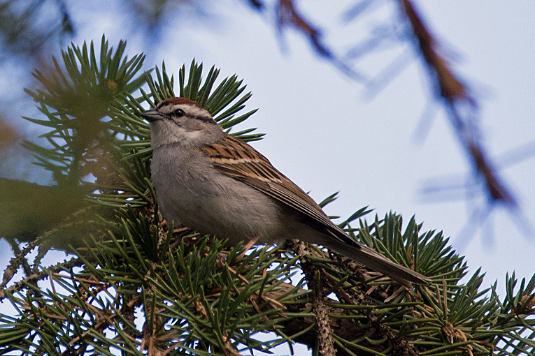 _DSC8636 Chipping Sparrow