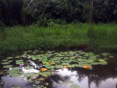 Lily pond. Pulau Ubin