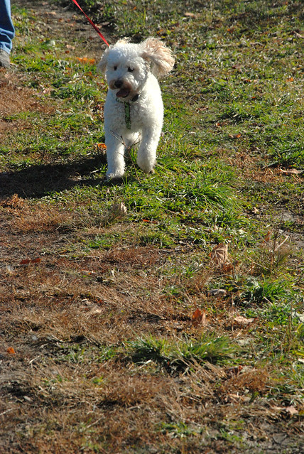 pet dog, hobbes, running on the trail