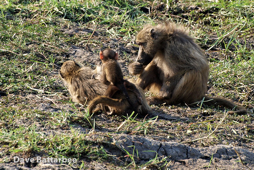 Baboon Family Fun