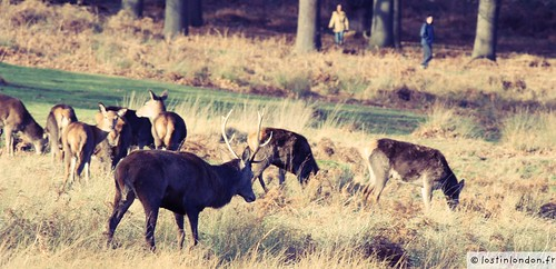 deers richmond park