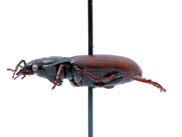Pterostichus (Stereocerus) haematopus - rufinistic version - lateral