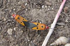 Siamese Bug