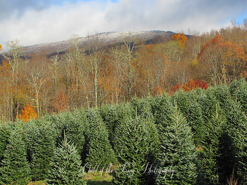 Christmas Trees by Child of the King Photography-Beckie