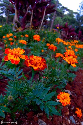 Fiery Flowers by israelv
