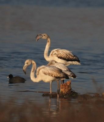 2012_02_01 LN - Flamingo (Pheonicopterus ruber)