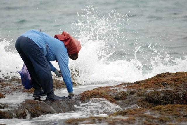 趁著潮起潮落的空檔採一些海菜貝類