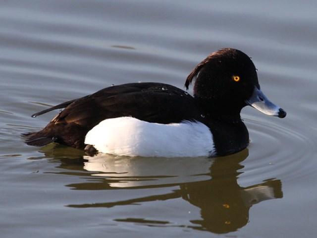 2012_01_28 TD - Tufted Duck (Aythya fuligula)