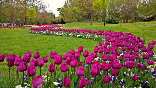 Tulips At Mellat Park , Mashhad