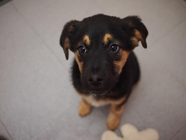 P10 female puppy