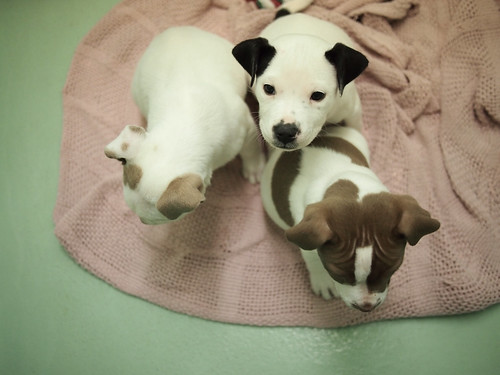 P4 hound mix puppies