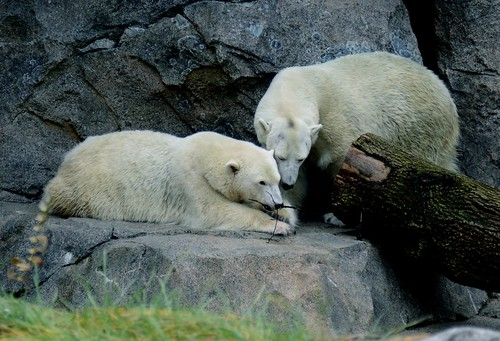Polar Bears Sharing a Stick