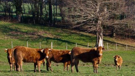 Horned livestock