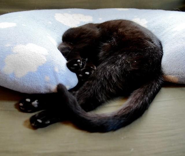 Cat with Black Feet