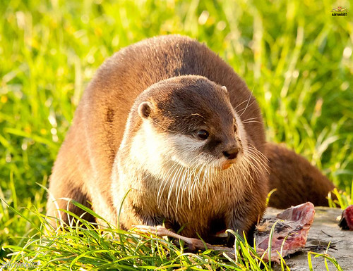 thoughtful-looking otter on green grass, goldenly sunlit from the side. There is part of a fish near the otter's front paws.