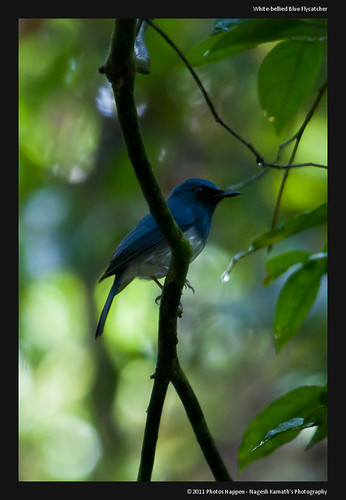 White-bellied Blue Flycatcher