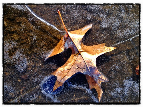 Oak leaf under ice