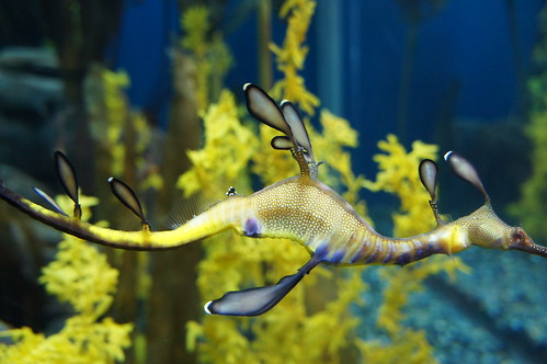 closeup of a brilliant yellow and blue seadragon swimming across the frame. Yellow sea vegetation  or coral is out of focus in the background.
