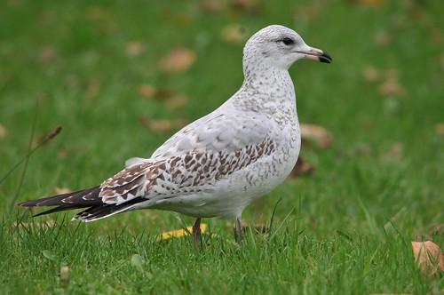 Ring-billed Gull (Larus delawarensis) - 2nd year